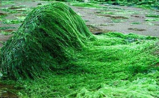 عشبة السبيرولينا الغنية بمكوناتها الغذائية المفيدة للجسم - (أرشيفية)