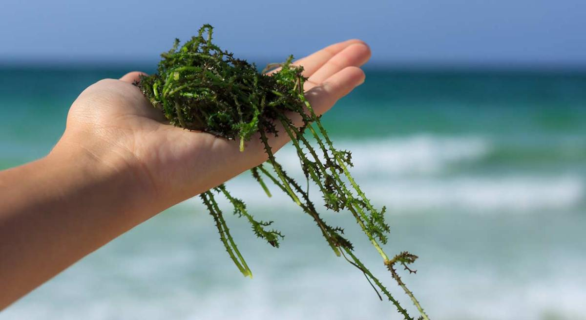 Les algues, des trésors de la mer...