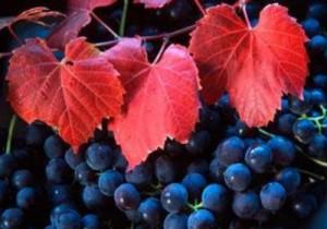 Vigne-rouge-propriétés-300x210